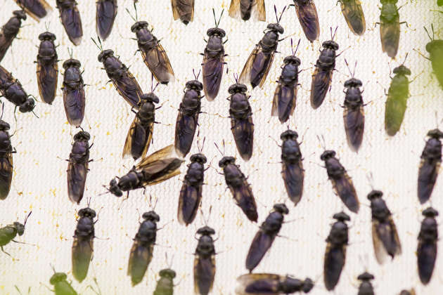 Dans les sous-sols du laboratoire,des mouches soldat noires sont élevées dans le vivarium de l'institut, à Tours, le 24 janvier.