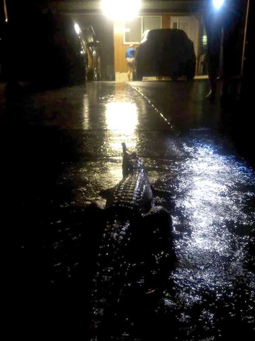 Un crocodile a été aperçu pendant les inondations à Townsville, le 3 février. Le ministre de l'environnement du Queensland a mis en garde la population concernant la présence de crocodilidés dans la région.