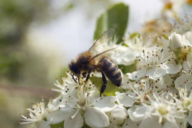 «Qu'attend la France? Déjà plus de 100000 personnes ont signé notre pétition pour demander au gouvernement d'adopter les nouveaux «tests abeilles» Photo Abeille butinant des fleurs de pyracantha.