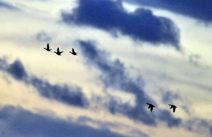 La date officielle de fin de chasse de ces espèces est fixée au 31 janvier, conformément à une directive européenne de protection des oiseaux migrateurs.