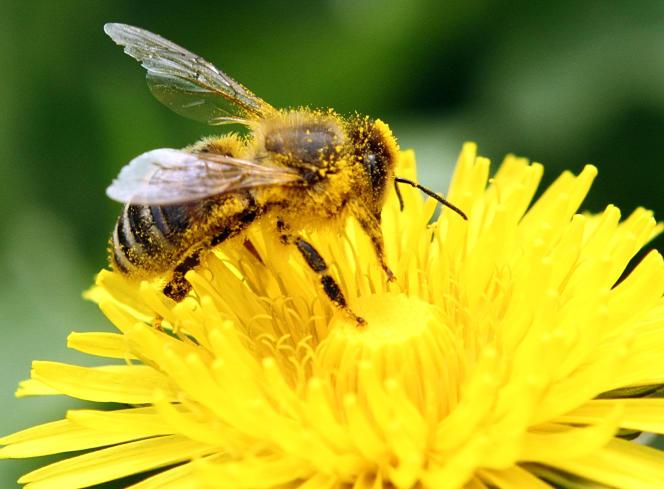L'abeille, familière des couleurs… et des quantités.