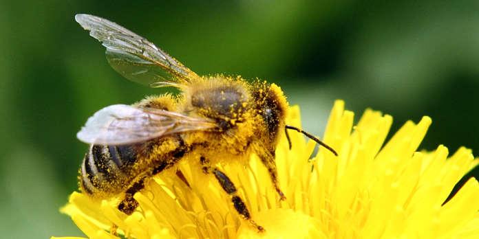 L'abeille, une bête en maths