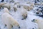 Dans une région du nord de la Russie, des ours blancs affamés viennent chercher de la nourriture dans les rues des villages.