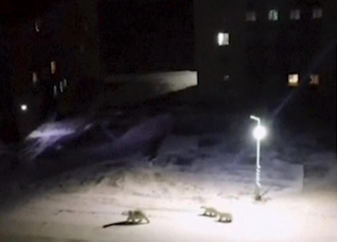 Des ours polaires dans les rues deBelushyaGuba, sur l'archipel russe de la Nouvelle-Zemble, le 11 février.