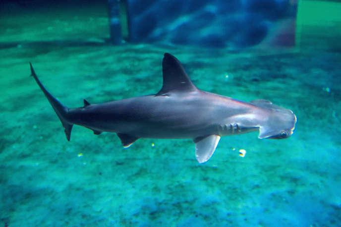Le Centre national de la mer de Boulogne compte poursuivre sa mission d'information auprès du public, notamment autour des requins.