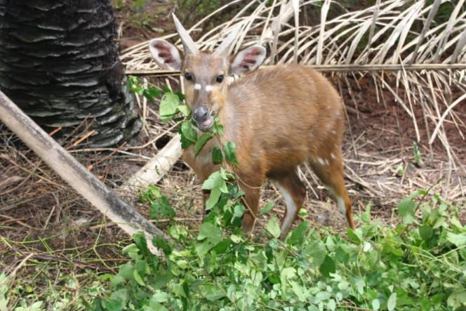 Le sitatunga, une espèce d'antilope en voie de disparition au Bénin.