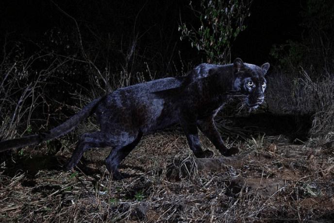 Le léopard noir photographié dans le Laikipia Wilderness Camp, au Kenya.