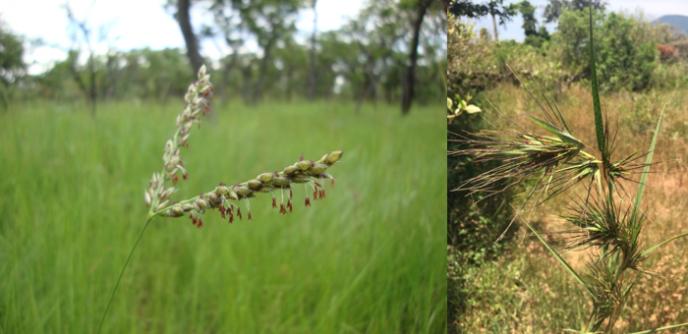 Inflorescences d'«Alloteropsis semialata» (photo de gauche) et de «Themeda triandra» (photo de droite), dans des savanes arborées de Zambie et du Sri Lanka. Deux fragments génomiques de T. triandra ont été intégrés dans le génome des populations d'A. semialata d'Australie.