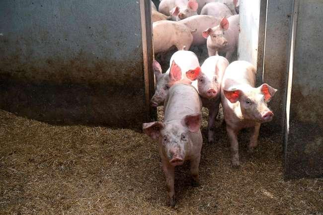 Dans un élevage àGoudelin(Côtes-d'Armor), le 13 février.