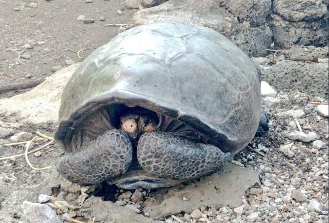 «Chelonoidis phantastica», découverte sur l'île de Fernandina.