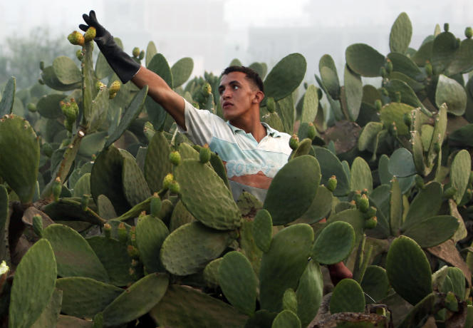 Récolte dans une plantation de figuiers de Barbarie, dans la région du Caire, en juillet 2010.