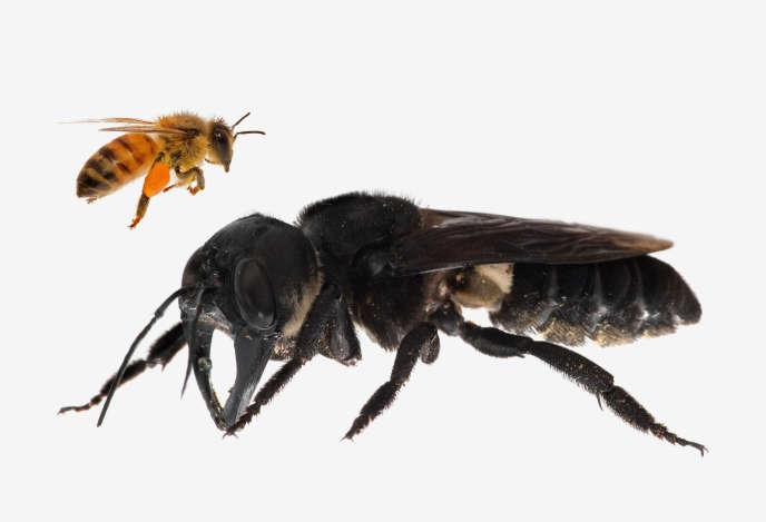 Image composite montrant un comparatif entre une abeille à miel et un specimen de «Megachile pluto».