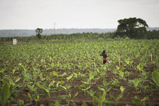 Une plantation de bananiers près de Caxito, en Angola, le 14novembre 2018.