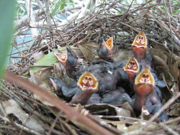 Des oisillons dans un nid coopératif d'anis des palétuviers.