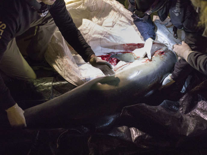 Le corps d'un dauphin trouvé mort en mer est déposé sur le port de La Rochelle, le 27 février, afin de sensibiliser le public.