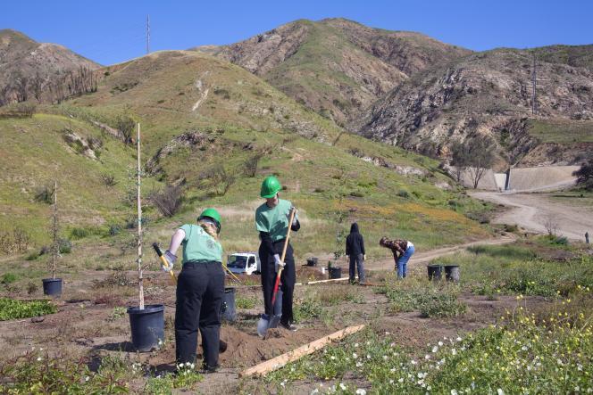 Des employés de l'agence de conservation de Los Angeles (LAConservation Corps) plantent un arbre dans un programme de reboisementStetson Ranch Park, dans le quartier de Sylmar, après les feux destructeurs de 2008.