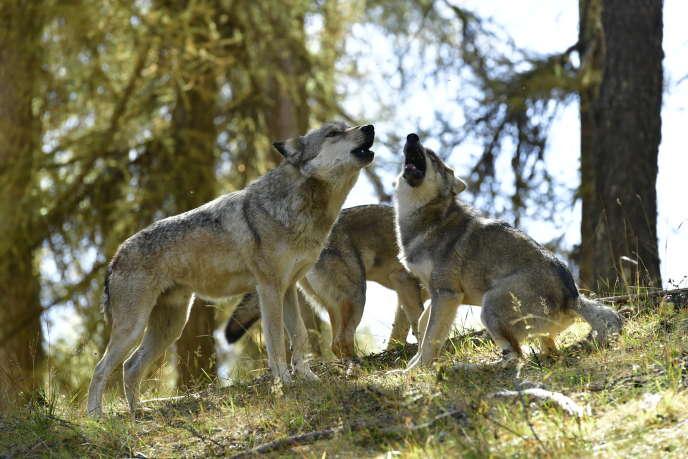 «L'Odyssée du loup», documentaire de Vincent Steiger, diffusé sur France 2.