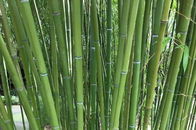 Bambous plantés dans le jardin du Musée du Quai-Branly, conçu par le paysagiste Gilles Clément.