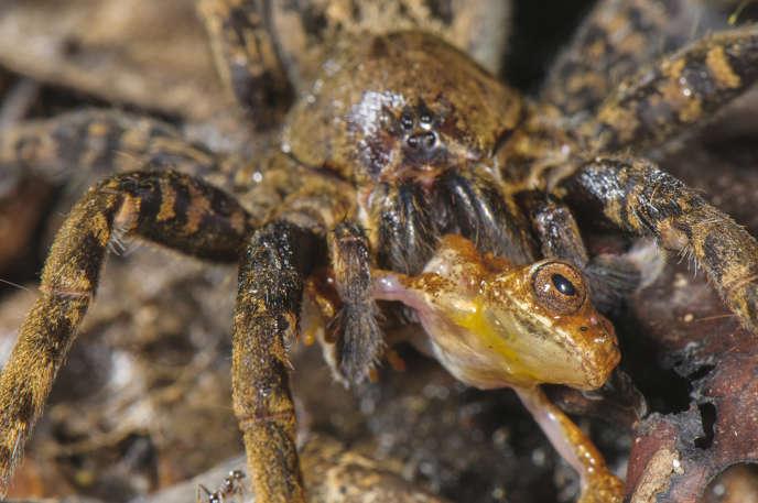 Une « Ancylometes » en train de manger un « Dendropsophus leali » adulte.