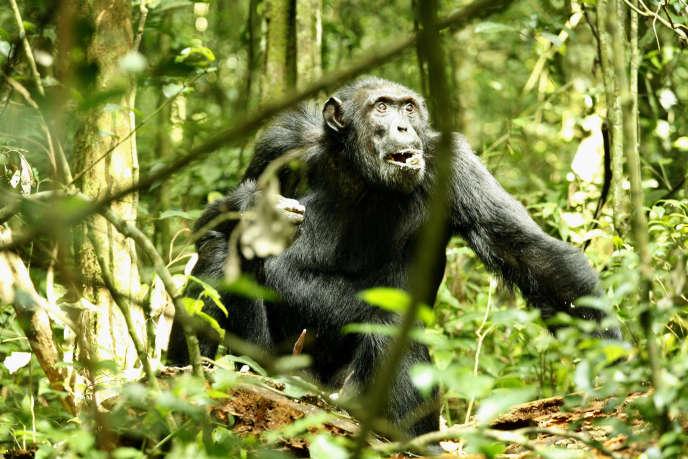 Un chimpanzé mâle dans le parc national de Kibale, en Ouganda, en décembre 2006.