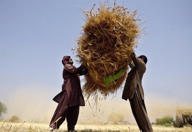 Récolte dans la région de Lahore, au Pakistan.