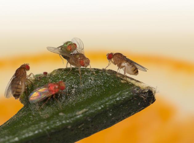 Courtisée par deux mâles, cette drosophile a choisi le second. Les deux femelles qui l'observent reproduiront par la suite ce choix.