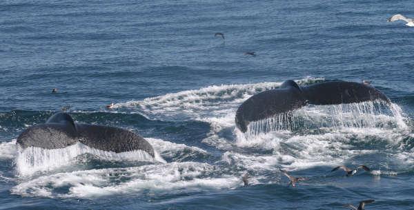 L'étude du chant ou des techniques de pêche des baleines à bosse a montré une transmission de comportements culturels entre les mamifères marins.