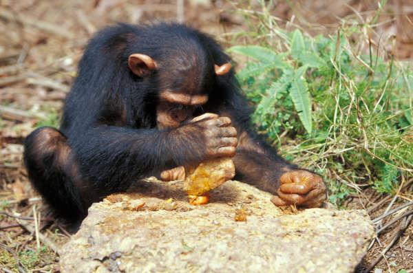 Une partie des chimpanzés utilise de lourdes pierres pour briser la gangue des fruits. Une compétence apprise aux petits par leur mère.