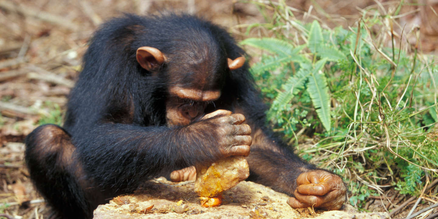 Chimpanzee breaking palm nuts with a stone. Gabon.