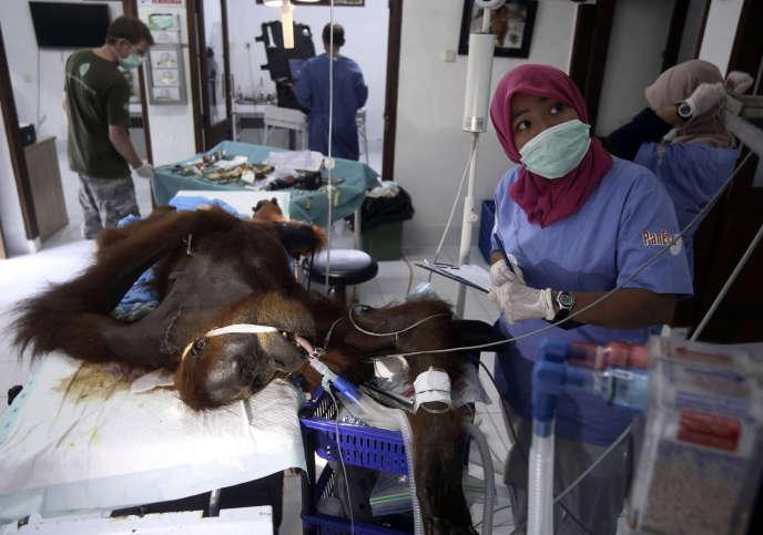 L'intervention chirurgicale sur la femelle orang-outan« Hope» à Sibolangit, au nord de Sumatra, le 17 mars.