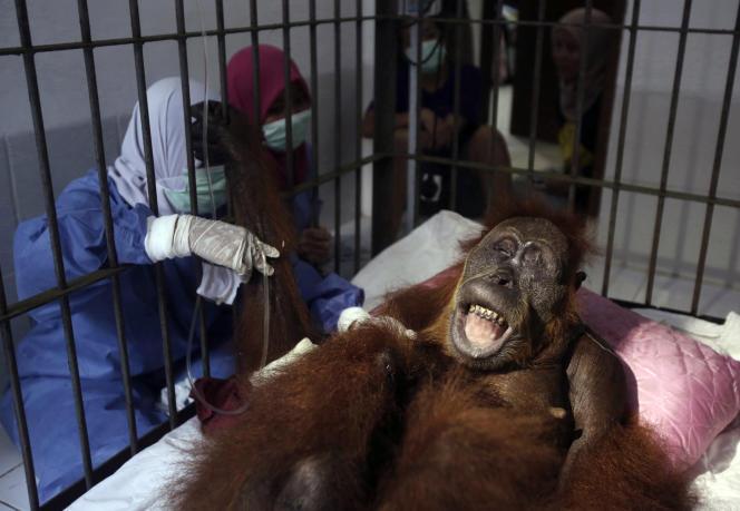L'orang-outan Hope après ses opérations parles vétérinaires du programme de conservation des orangs-outans de Sumatra (Indonésie), le 17 mars.