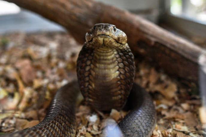 Un cobra cracheur.