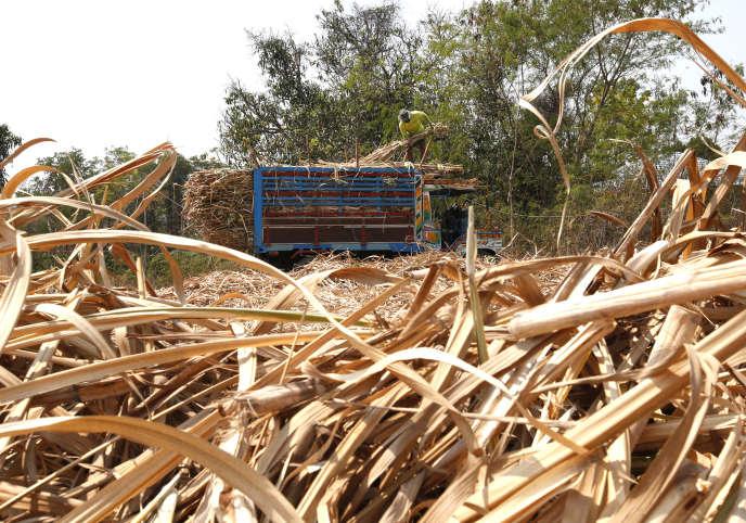 Dans un champ de canne à sucre, à Nakhon Ratchasima, en Thaïlande, le 14 mars. Un Thaïlandais sur deux vient d'une famille d'agriculteurs.
