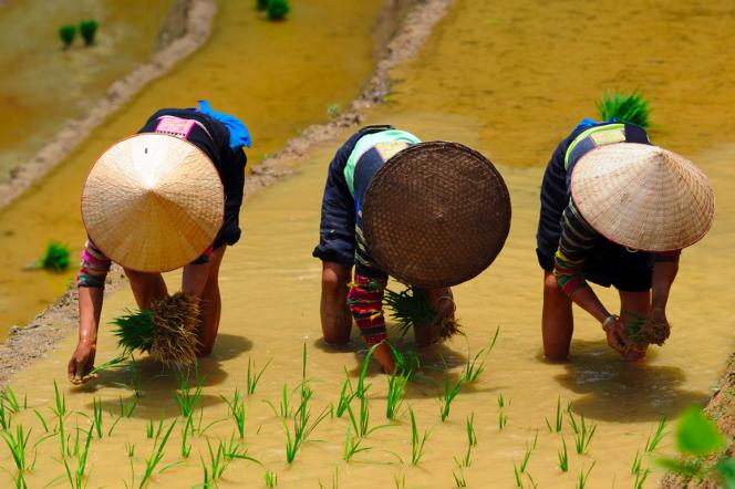 Plantation de riz chez les Lolos noirs, région de Cao Bang, Vietnam, 2015.