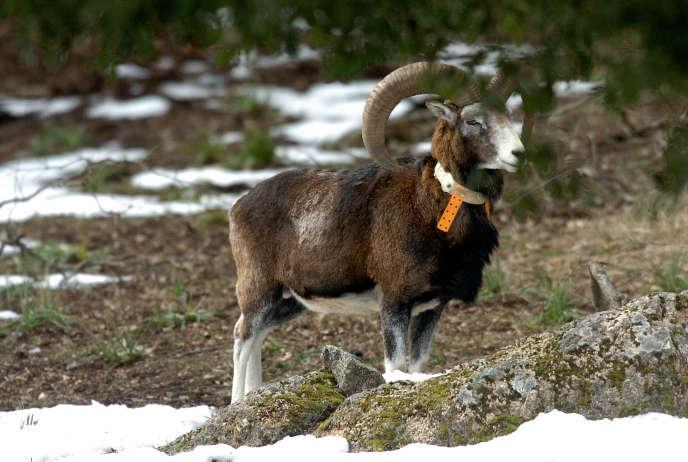 Photo d'un mouflon de Corseréalisée le 2 mars 2005, dans la région de l'Alta Rocca.