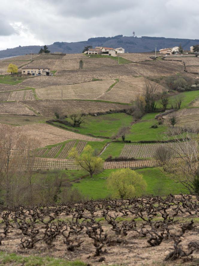 Paysage du Beaujolais : vues de vignes vers Morgon-Villié, Chiroubles, Fleurie, le 18 mars 2019.