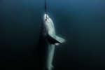 Un requin piégé par un hameçon au large de l'Australie.