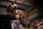 Scotty, un dinosaure découvert au Canada, en 1991.