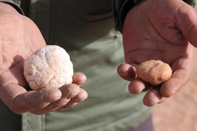 Fin février, Milad Mohamad parcours la zone désertique d'Al-Hamada Al-Hamra pour récolter des« terfas», des truffes blanches de Libye, qui seront ensuite vendues sur un marché des environs de Zinten.