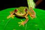 La Duellmanohyla soralia, est une grenouille vivant au Honduras, menacée d'extinction par le champignon Bd