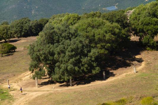 Lâolivier millénairede Filitosa, en Corse-du-Sud.