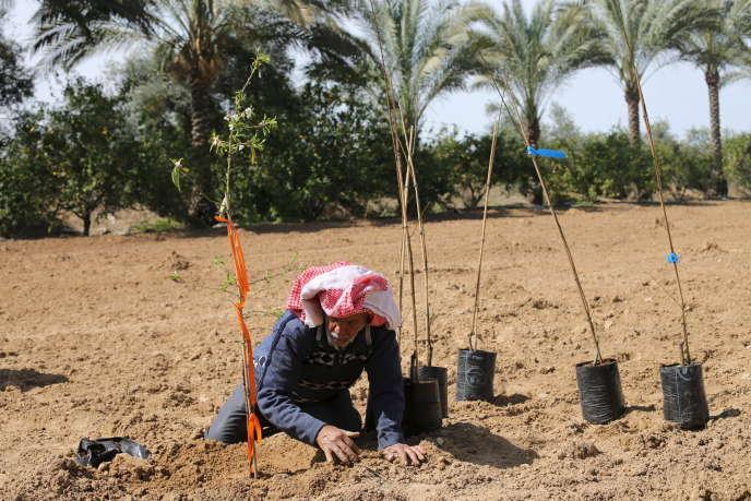 Un agriculteur palestinien plante de jeunes amandiers à Wadi as-Salqa (bande de Gaza), le 2 mars 2016.