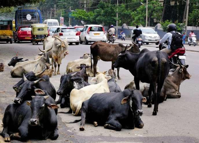 A Bangalore, en 2016. Depuis que les nationalistes hindous au pouvoirdans l'Etat de l'Uttar Pradesh (nord de l'Inde) ont fermé les abattoirs clandestins, le bétail épargné est devenu une source de nuisance et un fardeau pour les agriculteurs.