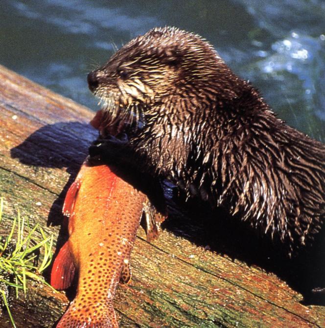 Une loutre avec la truite fardée qu'elle vient de pêcher.