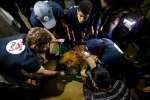 """Members of the international animal welfare charity """"Four Paws"""" check on a sedated lion at a zoo in Rafah, in the southern Gaza Strip, on  April 6, 2019, as they prepare to evacuate the animals out of a zoo in the Palestinian enclave and relocate to sanctuaries in Jordan. Forty animals including five lions are to be rescued from squalid conditions in the Gaza Strip, an animal welfare group said. / AFP / SAID KHATIB"""