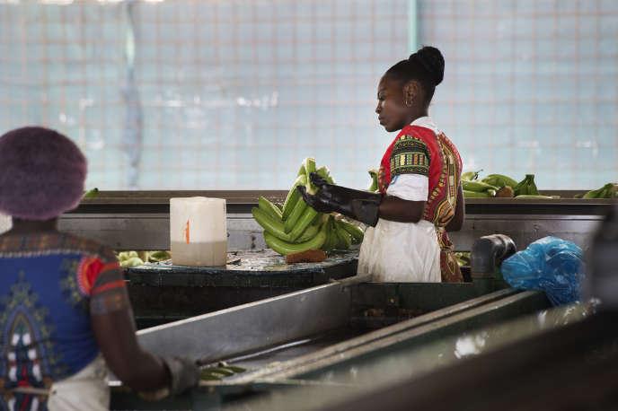 Dans une exploitation de bananes près de Caxito, en Angola, en novembre 2018.