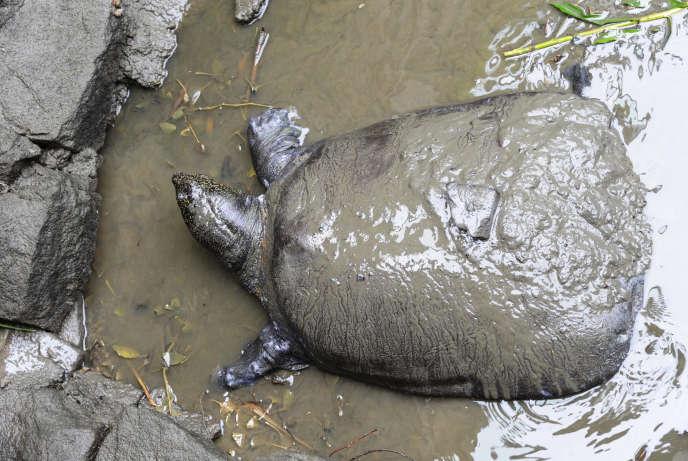 L'animal a succombé alors que le zoo avait tenté la veille une opération de la dernière chance pour sauver l'espèce en tentant de l'inséminer à l'aide de la semence d'une tortue mâle pensionnaire du même zoo, qui serait plus que centenaire.