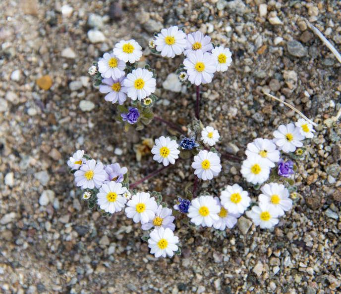 Dans la Vallée de la Mort, en Californie (Etats-Unis), un site désertique aride, les pluies torrentielles d'octobre 2016 ont favorisé l'apparition de fleurs. Un phénomène inédit depuis plus d'une décennie.