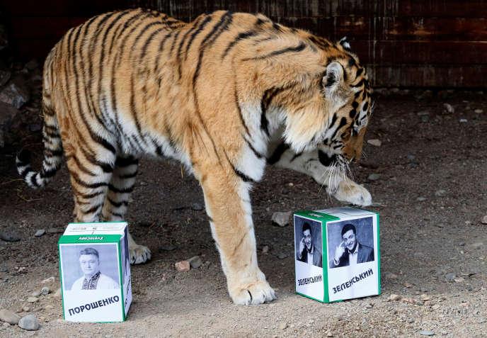 Bartek, un des tigres du zoo de Krasnoïarsk, le 15 avril. L'animal est utilisé pour prédire le gagnant du second tour de l'élection présidentielle ukrainienne.