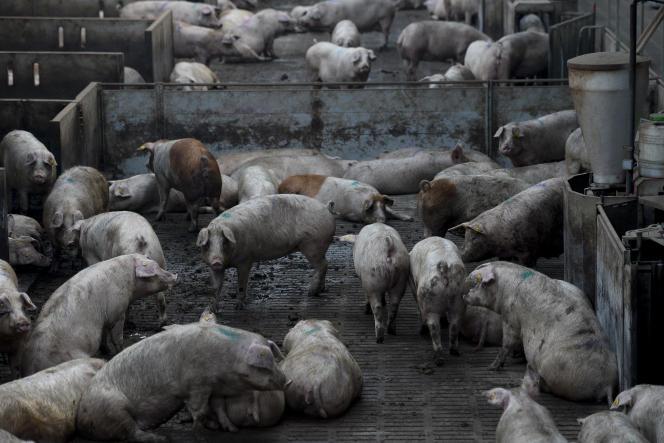 Un élevage industriel de porcs à La Portella, près de Lleida, dans le nord-est de l'Espagne, le 19 janvier 2016.